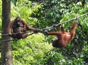 Orang-outan Zoo Singapour
